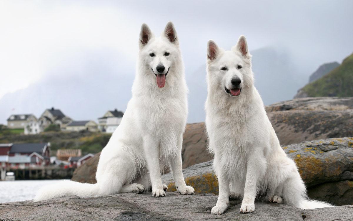 Esaul och Robin vit herdehund